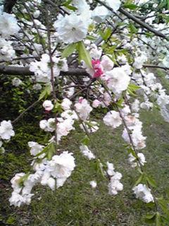 源平枝垂れの花桃を…!