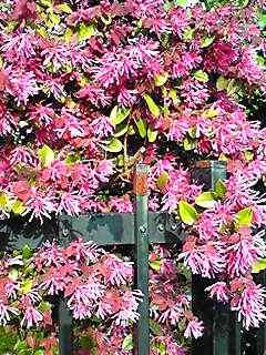 今年もベニバナトキワマンサク(紅花常盤万作)がフェンスを飾っています♪