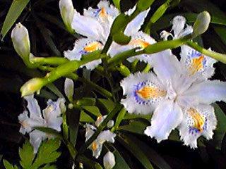 シヤガ(射干、胡蝶花)は子供の頃から好きな花♪