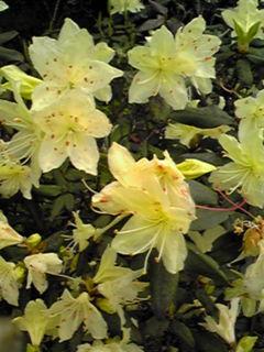 黄色い花のツヅジ(ヒカゲツツジ・日陰躑躅)