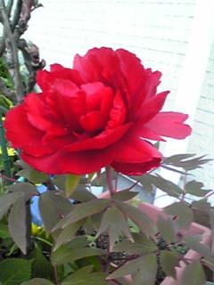 我が家の真っ赤なボタン(牡丹)が今日咲きました〜♪