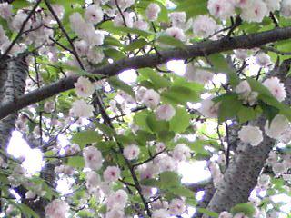 八重桜(牡丹桜)フィナーレの装い(ケンロクエンキクザクラ、フクロクジュ)