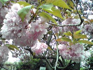 八重桜(牡丹桜)フィナーレの装い(フゲンザクラ、ウコンザクラ)