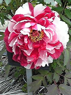 今日からは牡丹(ボタン)の花を少しずつ♪