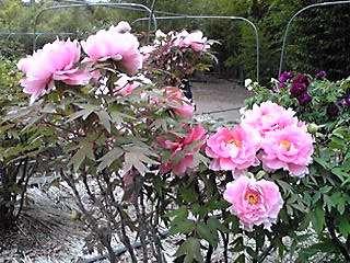 今夜も牡丹(ボタン)の花を三種類♪