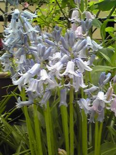 我が家のツリガネズイセン(釣り鐘水仙)も咲き始めています☆
