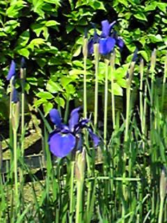 五月と言えばこんなお花たち(アヤメ、ダッチアイリス、ジャーマンアイリス)