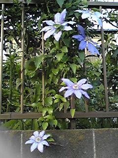 クレマチス(テッセン)はフェンスを美しく飾ります!