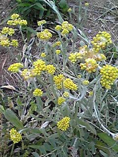 小さくて黄色い草花(ハハコグサ、ジシバリ)