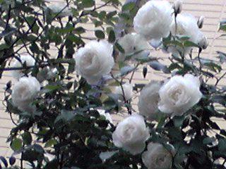 バラ(薔薇)の花いろいろ