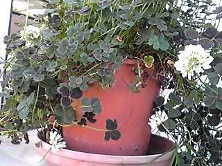 クロツメクサ(黒詰め草、ブラッククローバー)の花はやっぱり白なんだね?w