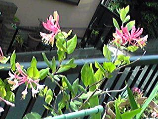 我が家のハニーサックル(匂い忍冬)が咲き始めました♪