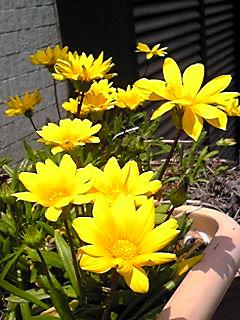 ガザニア(クンショウギク・勲章菊)はお日様が似合う花♪