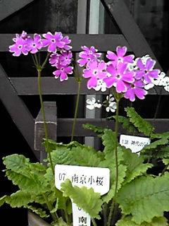 遅くなりましたが、多分、お花屋さんでは見られないサクラソウ(日本サクラソウ)を!