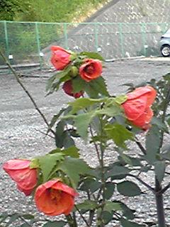 多分、アブチロン・ヒブリドゥムというお花だと思いますがとっても綺麗です!