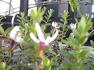 ツルコケモモ(クランベリー)の花が咲き始めて来ました♪