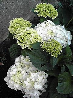 真っ白なアジサイ(紫陽花)が咲き始めていました♪