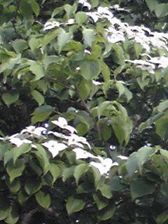 ヤマボウシ(山法師、ヤマグワ)の花