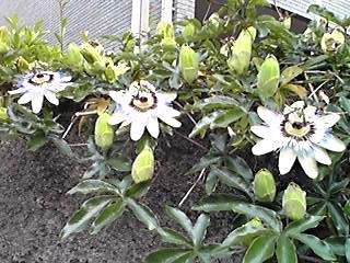 トケイソウ(時計草、パッションフラワー)はいつ見ても不思議な花姿♪