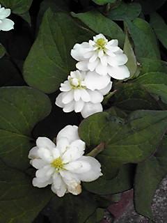 八重咲きのドクダミと普通のドクダミ