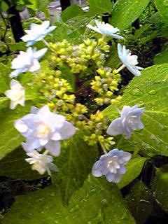 我が家のガクアジサイが2種類咲き始めて来ました♪