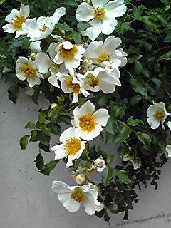 我が家の外壁を飾るツルバラを今年も!!