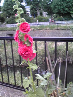 タチアオイ(立葵、ホリホック・ホーリーホック)は梅雨時から咲く花
