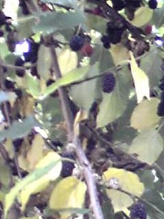 黒く熟す木の実(サクラ、クワ)