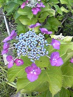 今日も午後3時のブログでアジサイ(紫陽花)いろいろです!