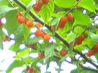 コウゾ(楮)の実のオレンジ色が鈴なりです♪