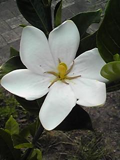 クチナシも梅雨が似合う花!