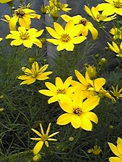 最近、よく見掛けられる花…イトバハルシャギク(糸葉春車菊、コレオプシス)