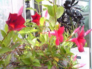 真っ赤なサンパラソルビューティが今年も咲いてくれました〜♪