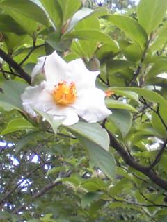 涼しげで清楚な姿のナツツバキ(夏椿、シャラノキ)の花