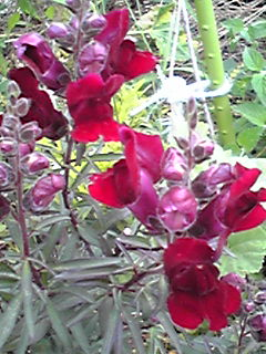 キンギョソウ(金魚草、スナップドラゴン)のその花はいつ見ても可愛いですね!?