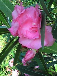 キョウチクトウ(夾竹桃)は綺麗で強いお花ですが注意が必要です!