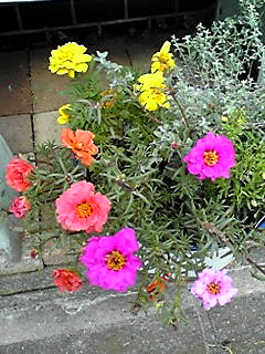マツバボタン(松葉牡丹)も夏の花