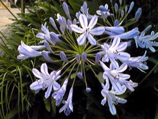 アガパンサス(紫君子蘭・ムラサキクンシラン)の花言葉は☆愛の花☆