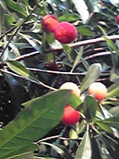 ヤマモモ(山桃)収穫〜♪