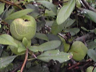 ボケ(木瓜)の実が目立ち初めてきたので…青い実を少しだけ初収穫!