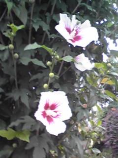 ムクゲ(木槿、ハチス)はほぼ日本中で見られる夏の花☆
