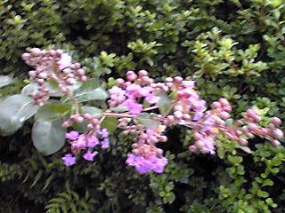 雨上がりの中の紫色のサルスベリ(百日紅)