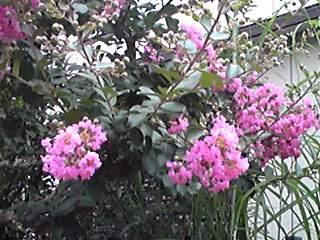 主無きお宅のサルスベリ(百日紅)も咲き始めていました。