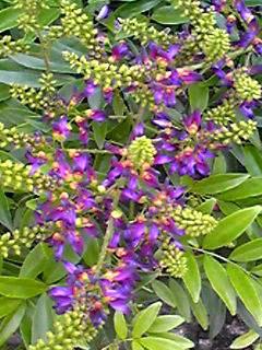 サッコウフジ(ムラサキナツフジ)は落ち着いた紫色の夏のフジ(藤)