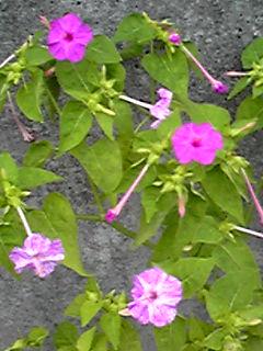 オシロイバナ(白粉花、夕化粧、ミラピリス)は多種多様な花☆