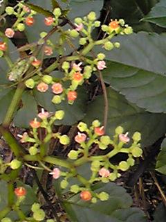 ヤブガラシ(薮枯らし・ビンボウカズラ)は厄介な雑草ですがお花は可愛いでしょ?