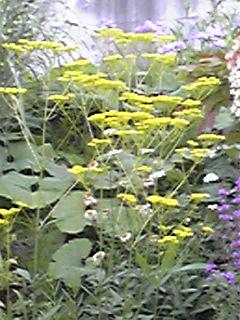 暑き日に涼しげに咲く秋の七草オミナエシ(女郎花)