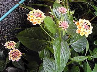 ランタナ(七変化)は色とりどり!綺麗に咲き始めています☆