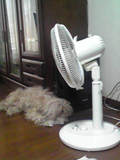 この夏も扇風機犬は健在です(笑)