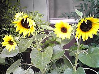 夏の代表的な花はやっぱりヒマワリ(向日葵)でしょ!?